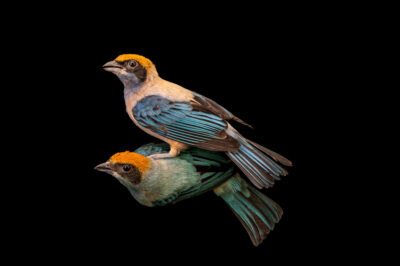Photo: Two burnished-buff tanagers (Tangara cayana) at Zoopark Zajezd.