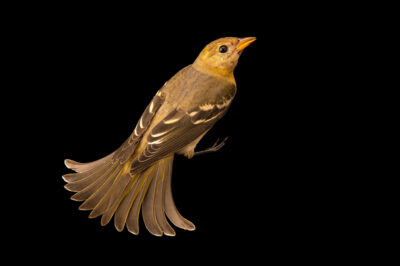 Photo: A female Western tanager (Piranga ludoviciana) at Santa Barbara Wildlife Care Network.