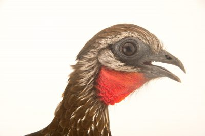 Picture of a band-tailed guan (Penelope argyrotis) at the National Aviary breeding center.