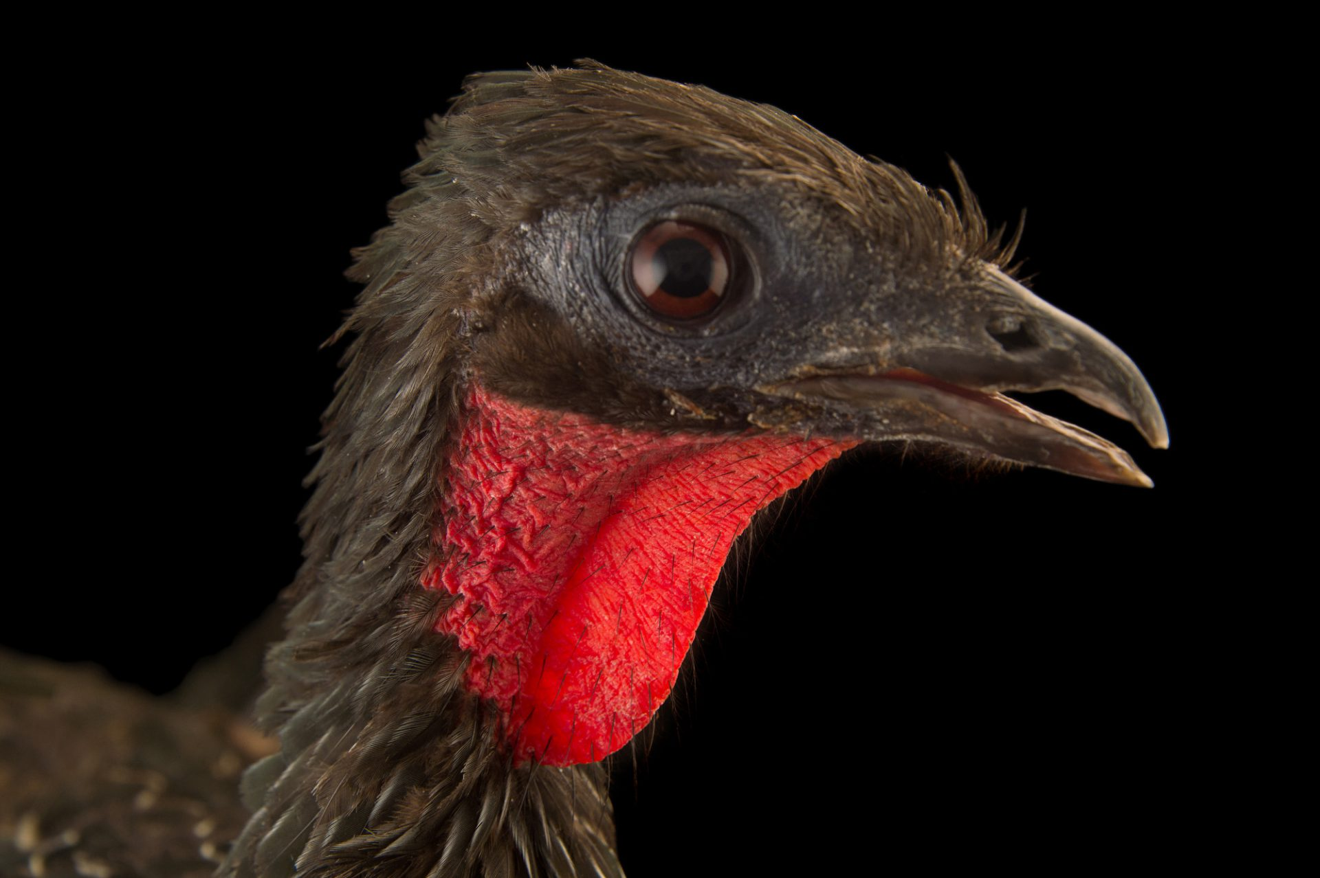 Picture of a Spix's guan (Penelope jacquacu) at the National Aviary breeding center.