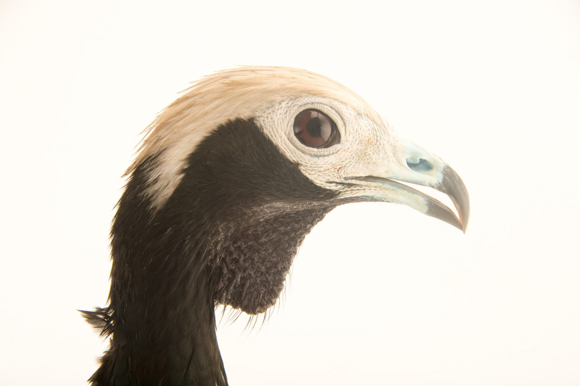 Picture of a vulnerable blue-throated piping guan (Pipile cumanensis) at the National Aviary breeding center.