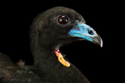 Picture of a wattled guan (Aburria aburri) at the National Aviary of Colombia.