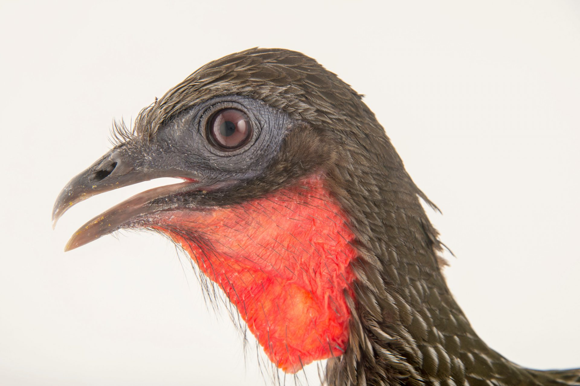 Picture of an endangered Cauca guan (Penelope perspicax) at the Cali Zoo in Colombia.