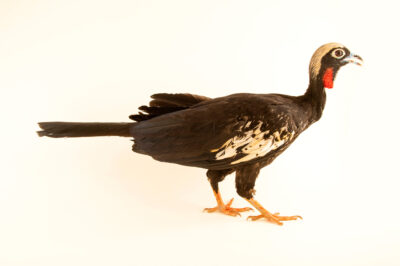 Photo: An endangered black-fronted piping guan (Aburria jacutinga) at Fundacao Jardim Zoologico de Brasilia.