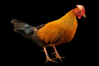 Photo: A Sri Lankan junglefowl (Gallus lafayetii) at Prague Zoo.