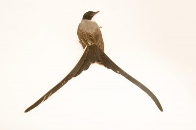 Picture of a fork-tailed flycatcher (Tyrannus savana) at the National Aviary breeding center.