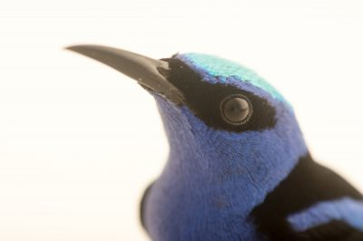 Picture of a red-legged honeycreeper (Cyanerpes cyaneus) at the National Aviary breeding center.