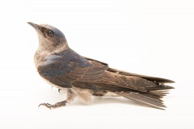 Picture of a female purple martin (Progne subis) from WildCare in Noble, Oklahoma.