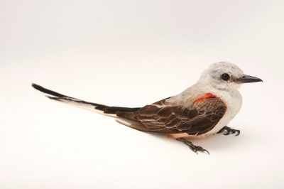Picture of a male scissor-tailed flycatcher (Tyrannus forficatus) at the Wichita Mountains National Wildlife Refuge.
