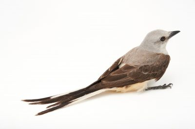 Picture of a female scissor-tailed flycatcher (Tyrannus forficatus) at the Wichita Mountains National Wildlife Refuge.