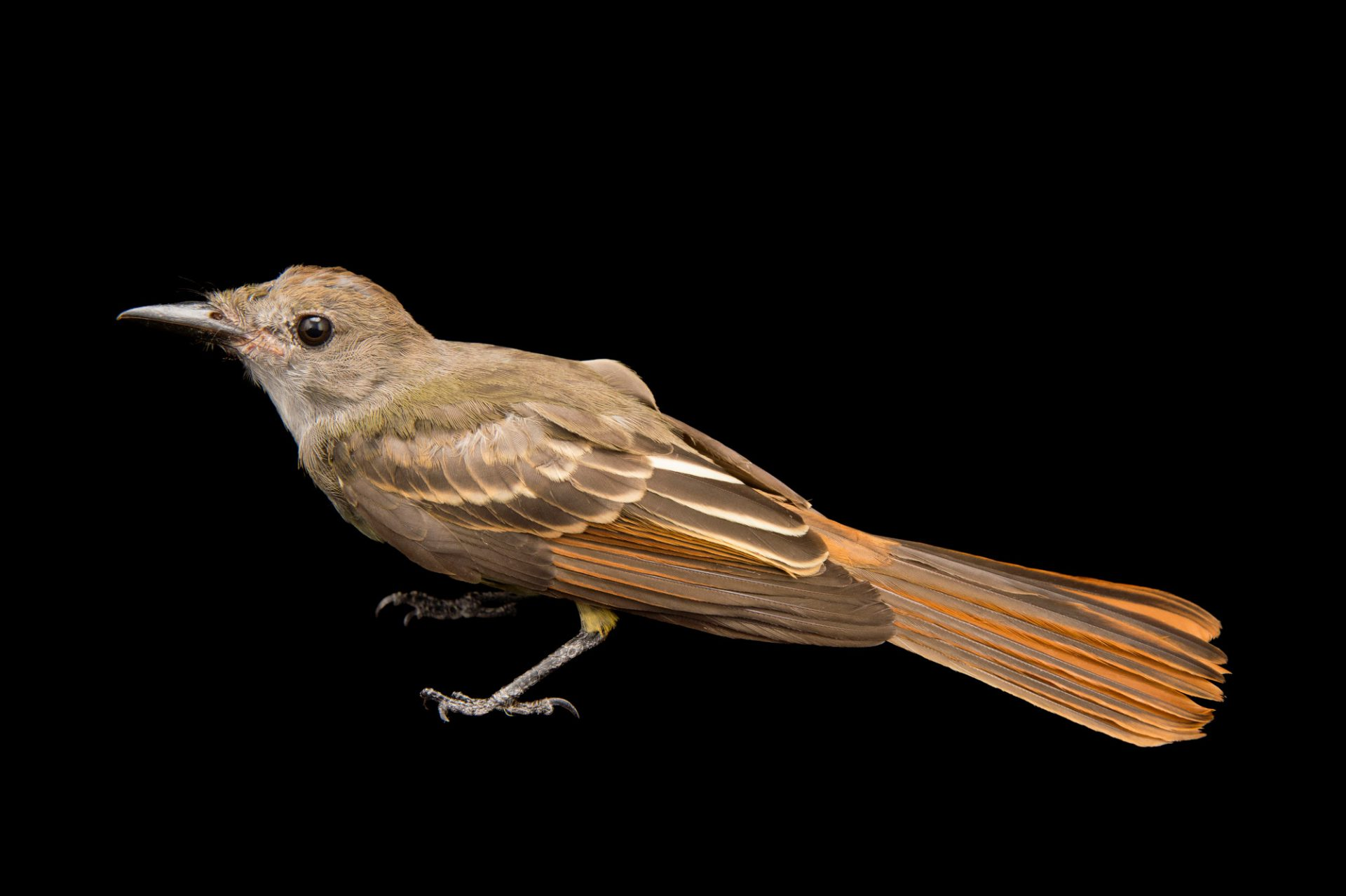 Picture of a great crested flycatcher (Myiarchus crinitus) at the Wichita Mountains National Wildlife Refuge.