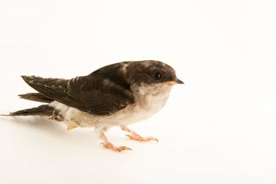 Photo: Common house martin (Delichon urbicum) from the Budapest Zoo.