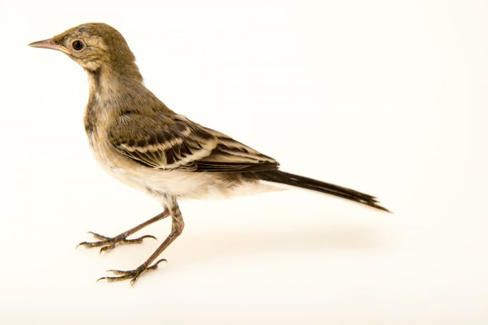 Photo: A juvenile white wagtail (Motacilla alba) from the Budapest Zoo.
