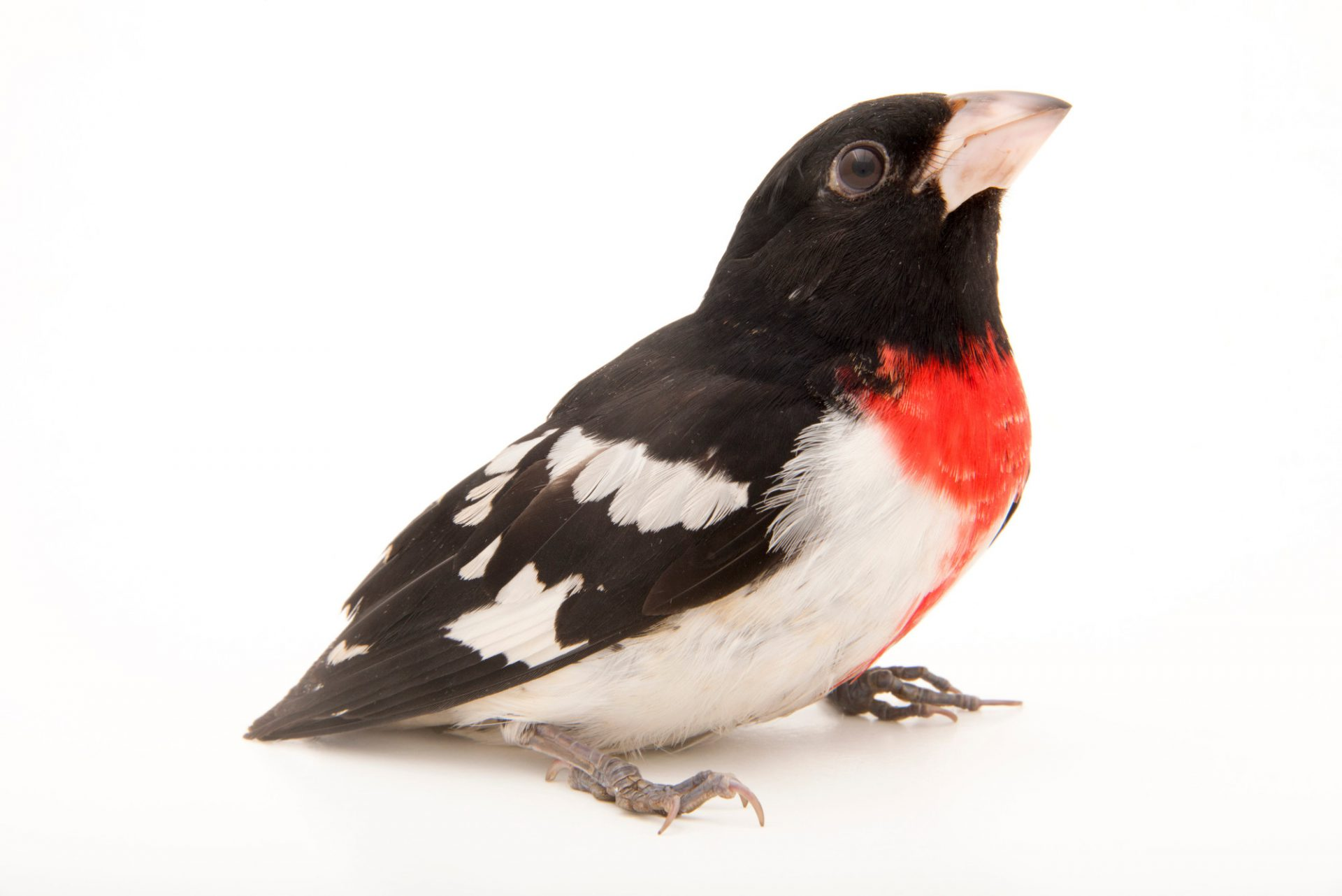 Picture of a rose-breasted grosbeak (Pheucticus ludovicianus) at Nebraska Wildlife Rehab, Inc.