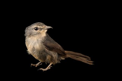 Photo: A dusky blue flycatcher (Muscicapa comitata aximensis) at the Plzen Zoo.