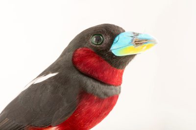 Photo: A black and red broadbill, Cymbirhynchus macrorhynchos malaccensis, at Penang Bird Park.