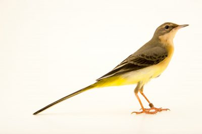 Photo: Gray wagtail (Motacilla cinerea) at the Plzen Zoo in the Czech Republic.