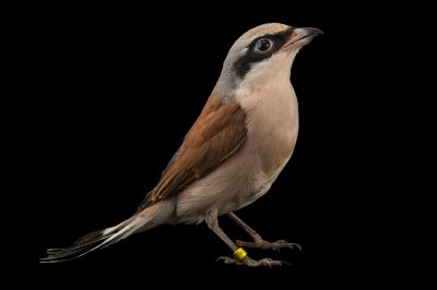 Photo: Red backed shrike (Lanius collurio) at the Plzen Zoo in the Czech Republic.
