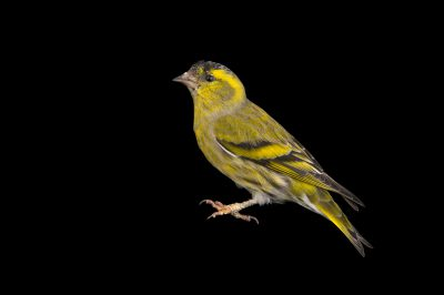 Photo: European siskin (Carduelis spinus) at the Plzen Zoo in the Czech Republic.