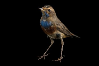 Photo: Bluethroat (Erithacus svecica cyanicula) at the Plzen Zoo in the Czech Republic.