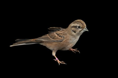 Photo: Rock bunting (Emberiza cia) at the Plzen Zoo in the Czech Republic.