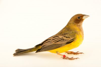 Photo: Red headed bunting (Emberiza bruniceps) at the Plzen Zoo in the Czech Republic.