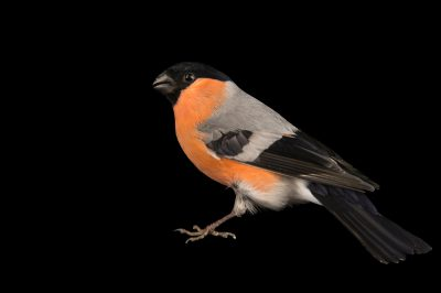 Photo: Eurasian bullfinch (Pyrrhula pyrrhula pyrrhula) at the Plzen Zoo in the Czech Republic.