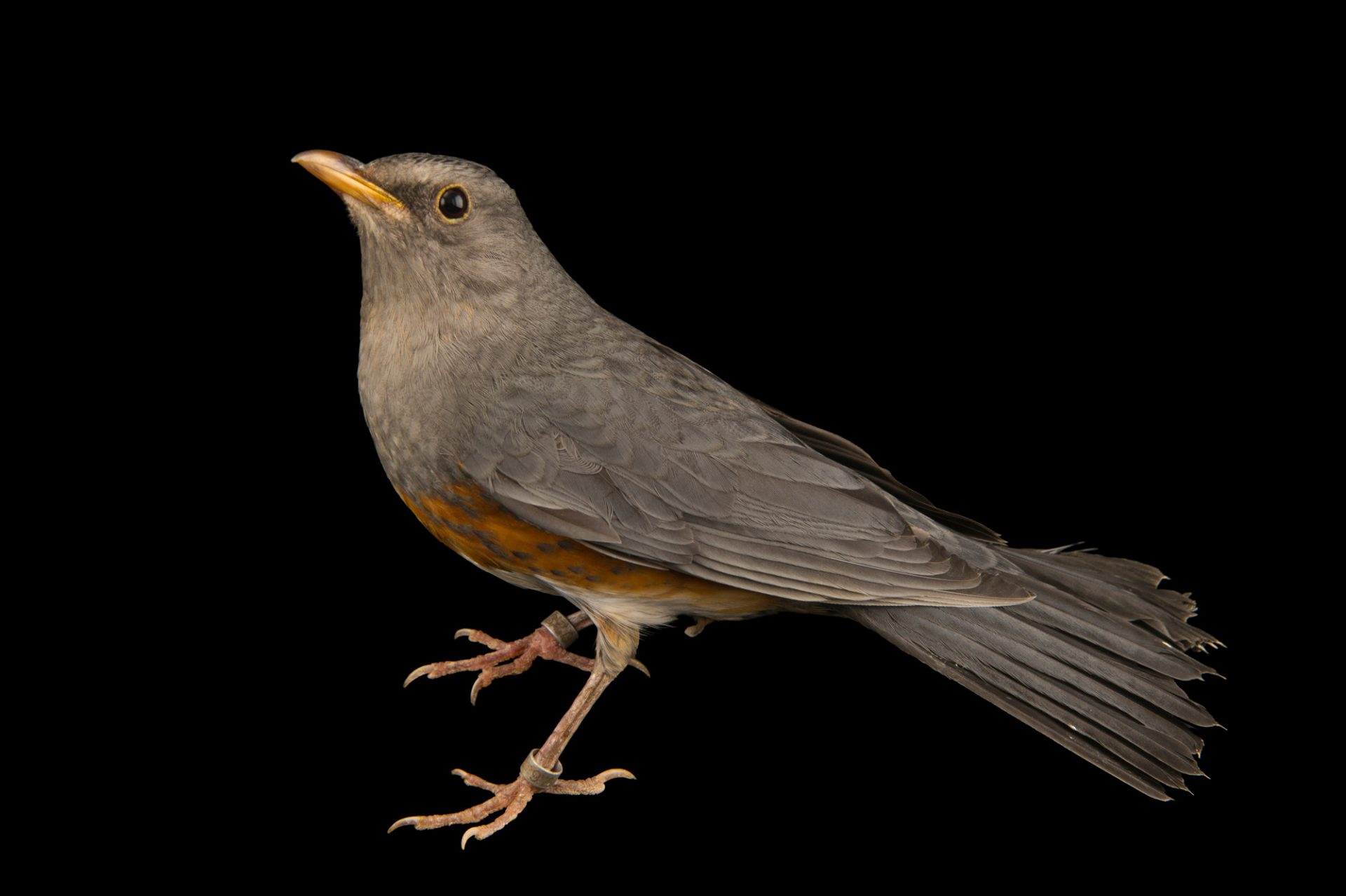 Photo: Grey backed thrush (Turdus hortulorum) at the Plzen Zoo in the Czech Republic.