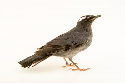Photo: Siberian thrush (Geokichla sibirica sibirica) at the Plzen Zoo in the Czech Republic.