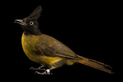 Photo: Black-crested bulbul (Pycnonotus flaviventris caecilii) at Penang Bird Park.