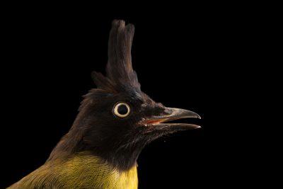 Photo: Black-crested bulbul (Pycnonotus flaviventris caecilii) at Penang Bird Park.
