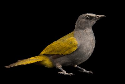 Photo: Grey-bellied bulbul (Pycnonotus cyaniventris cyaniventris) at Penang Bird Park.