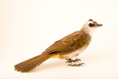 Photo: Yellow-vented bulbul (Pycnonotus goiavier) at the Audubon Zoo.