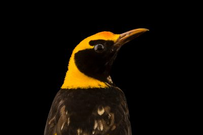 Photo: Regent bowerbird (Sericulus chrysocephalus) at Healesville Sanctuary.