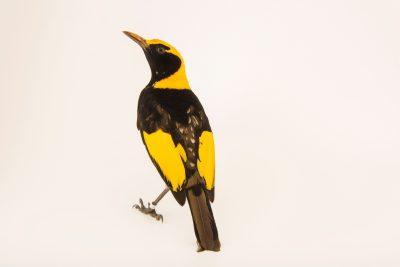 Photo: Regent bowerbird (Sericulus chrysocephalus) at Healesville Sanctuary.