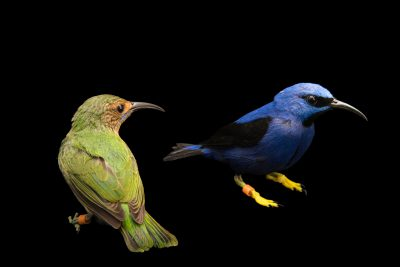 Photo: A female and male purple honeycreeper (Cyanerpes caeruleus) at the Nashville Zoo.
