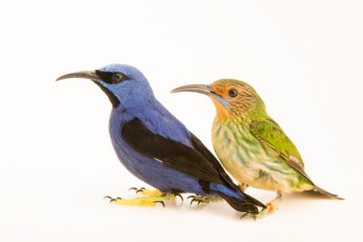 Photo: A male and female purple honeycreeper (Cyanerpes caeruleus) at the Nashville Zoo.