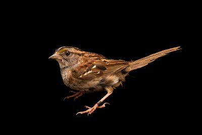 Photo: A white-throated sparrow (Zonotrichia albicollis) at the Wildlife Rehabilitation Center of Minnesota.