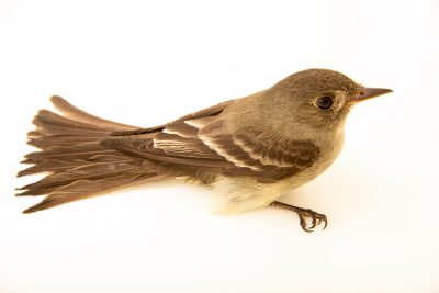 Photo: An eastern wood peewee (Contopus virens) at the Wildlife Rehabilitation Center of Minnesota.