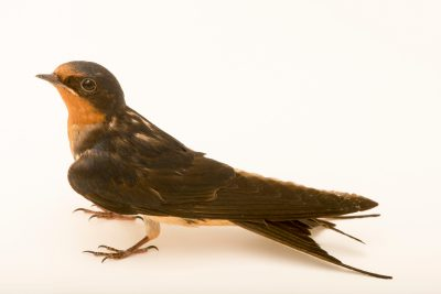 Photo: In early May, this beautiful barn swallow (Hirundo rustica) arrived at the Iowa Bird Rehabilitation with a bad shoulder.