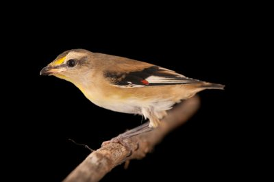 Photo: A striated pardalote (Pardalotus striatus) from a private collection.