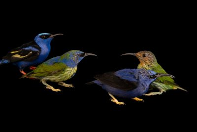 Photo: Purple honeycreeper (Cyanerpes caeruleus) and red-legged honeycreeper (Cyanerpes cyaneus) at the Dallas World Aquarium.