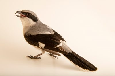 Photo: Loggerhead shrike (Lanius ludovicianus) at the Nashville Zoo.