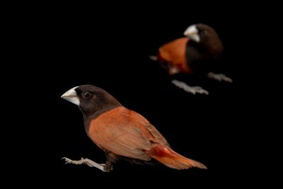 Photo: Chestnut munia (Lonchura atricapilla jagori) at Farmville de Bago, a private collection on Negros Island in the Philippines.