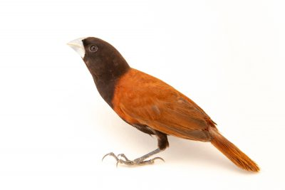 Photo: A chestnut munia (Lonchura atricapilla jagori) at Farmville de Bago, a private collection on Negros Island in the Philippines.