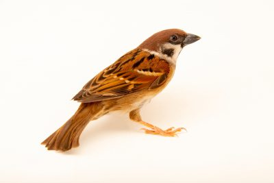 Photo: An Eurasian tree sparrow (Passer montanus saturatus) at Farmville de Bago on Negros Island in the Philippines.