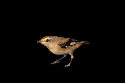 A striated pardalote (Pardalotus striatus) from a private collection.