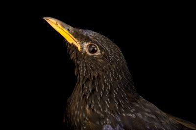 Photo: A blue whistling-thrush (Myophonus caeruleus) from a private collection in Choussy, France.