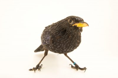 Photo: A blue whistling-thrush (Myophonus caeruleus ssp.) from a private collection in Choussy, France.