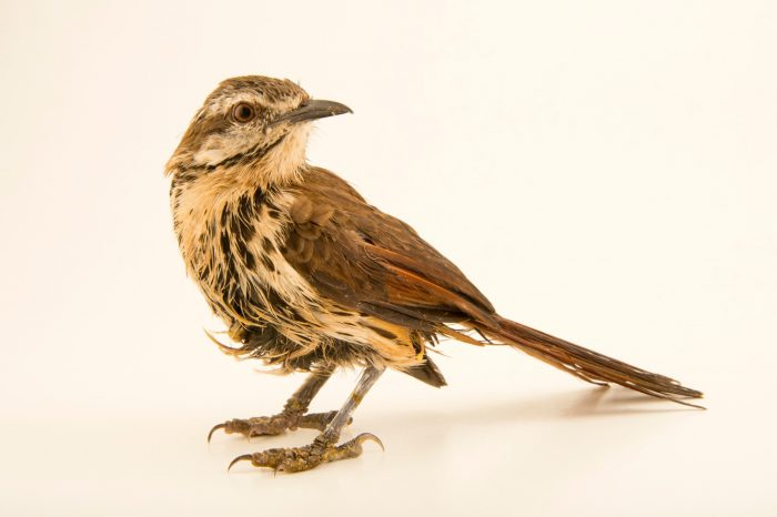 Photo: A spotted palm-thrush (Cichladusa guttata) from a private collection in Choussy, France.